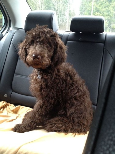 Moose Labradoodle Puppy from Tippy
