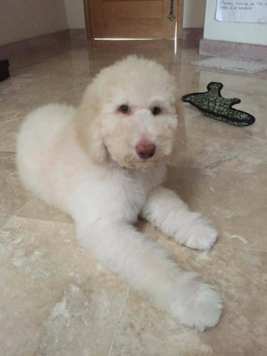 Grooming the Labradoodle, Goldendoodle & Aussiedoodle ... Adult Goldendoodle