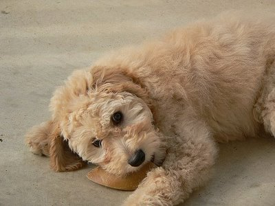 goldendoodle puppies pictures. Labradoodles and Goldendoodles