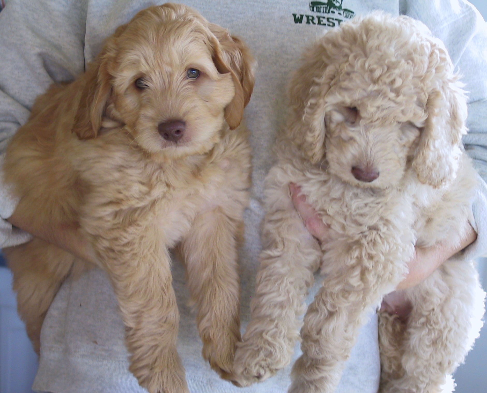Labradoodles- Aussiedoodle and Labradoodle Puppies | Best Labradoodle ...