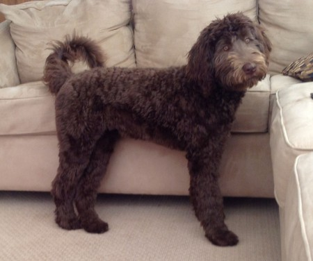 Coco - Multigeneration Labradoodle from Tippy and Hershey