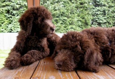 Tippy and Charlie - Labradoodles