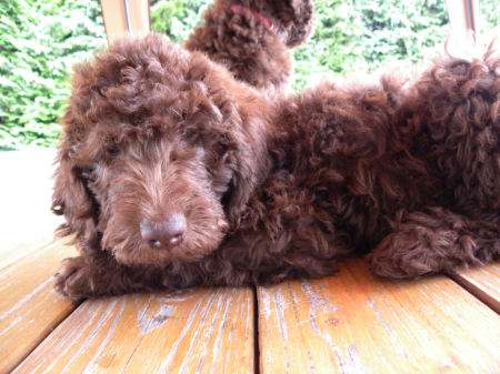 Labradoodle - Curly Coat