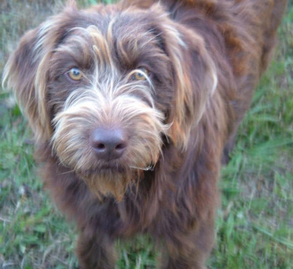 Designer dogs or mutts aussiedoodle and labradoodle puppies best