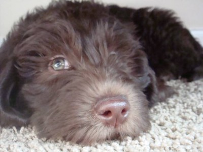 labradoodle vs goldendoodle Home Labradoodles vs