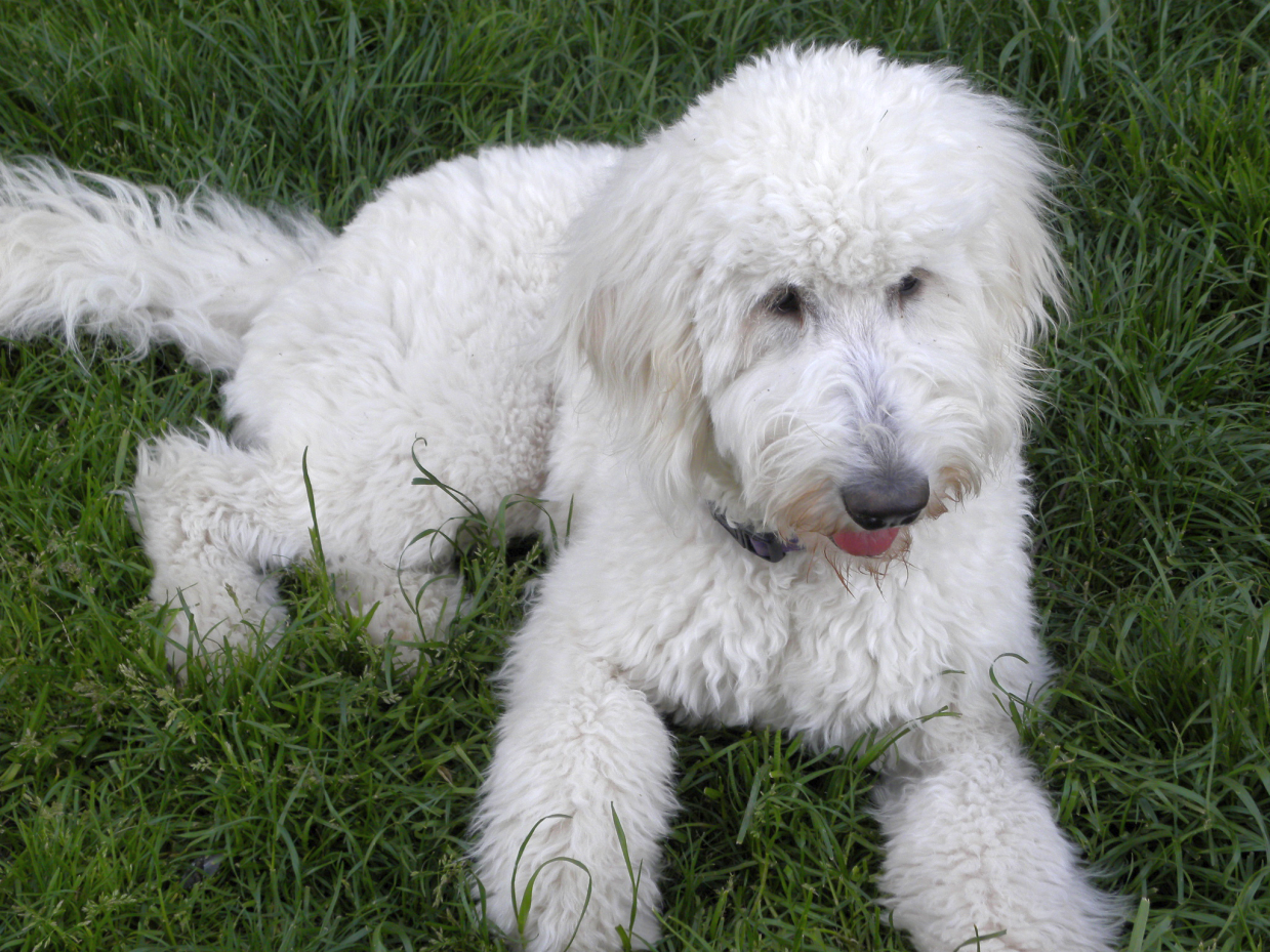 F1 Standard Goldendoodles Baby Medium Goldendoodle Pictures