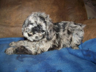 Aussiedoodle puppy Blue Merle from AUSSIES4EVER.com