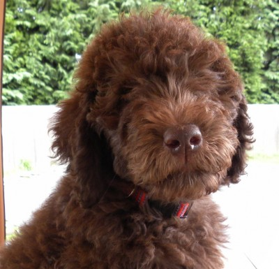 Tippy the F1b Labradoodle