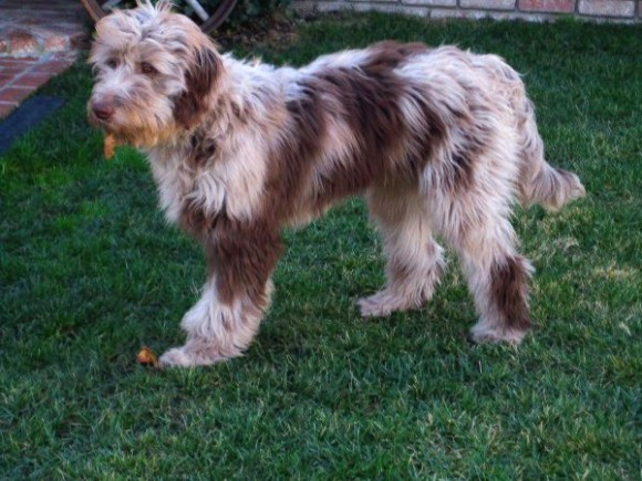 Sammy - Red Merle colored Standard size Aussidoodle Adult