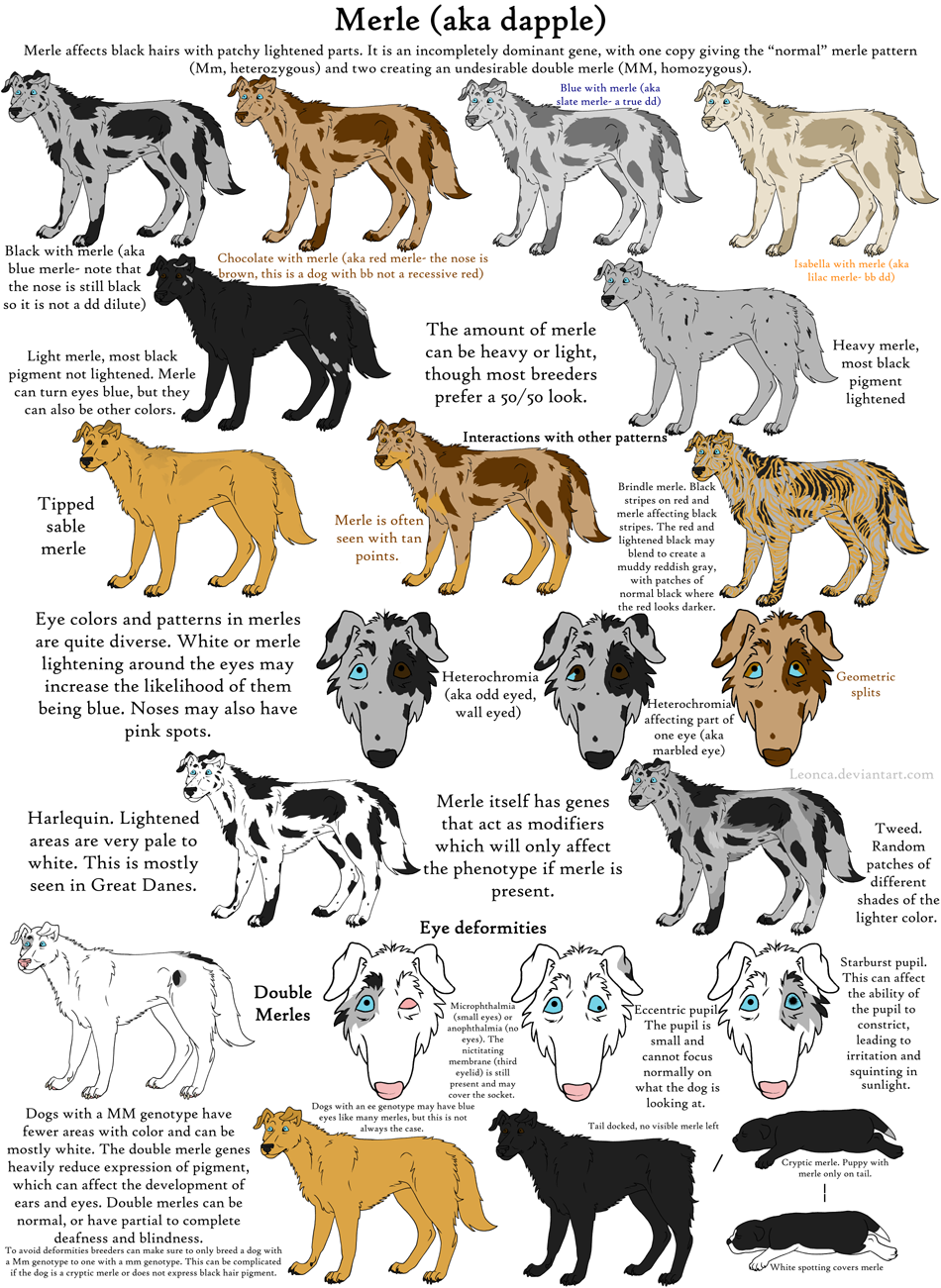 The merle coat color explained aussiedoodle and labradoodle if you cant read it click on it to view full image nvjuhfo Image collections