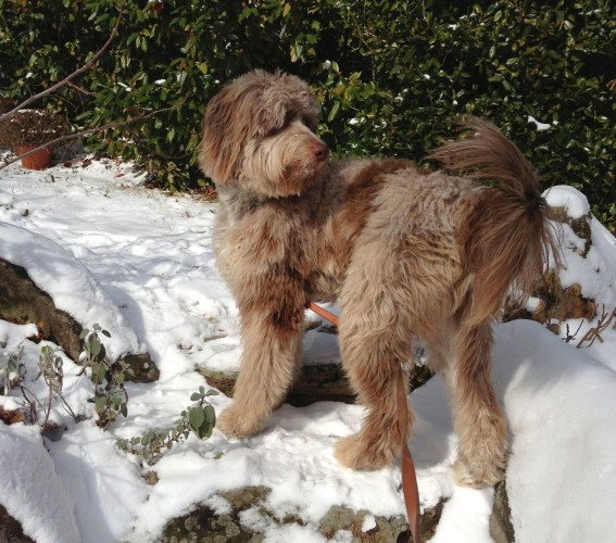 Chip - Red Merle Standard F1 Aussiedoodle
