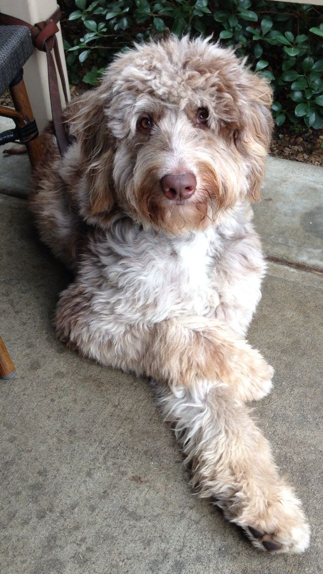 About Aussiedoodles � Aussiedoodle Puppies for Sale- Aussiedoodle ...