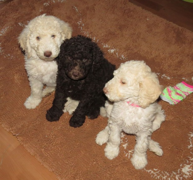 Multigen Labradoodle Puppies