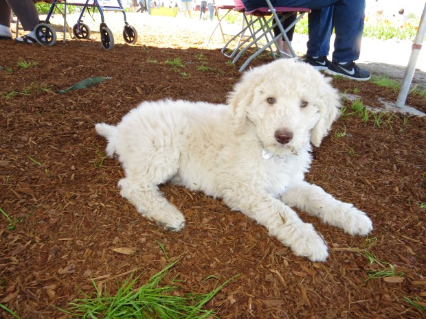 Valentina - Multigen Labradoodle at the Tulip Festival