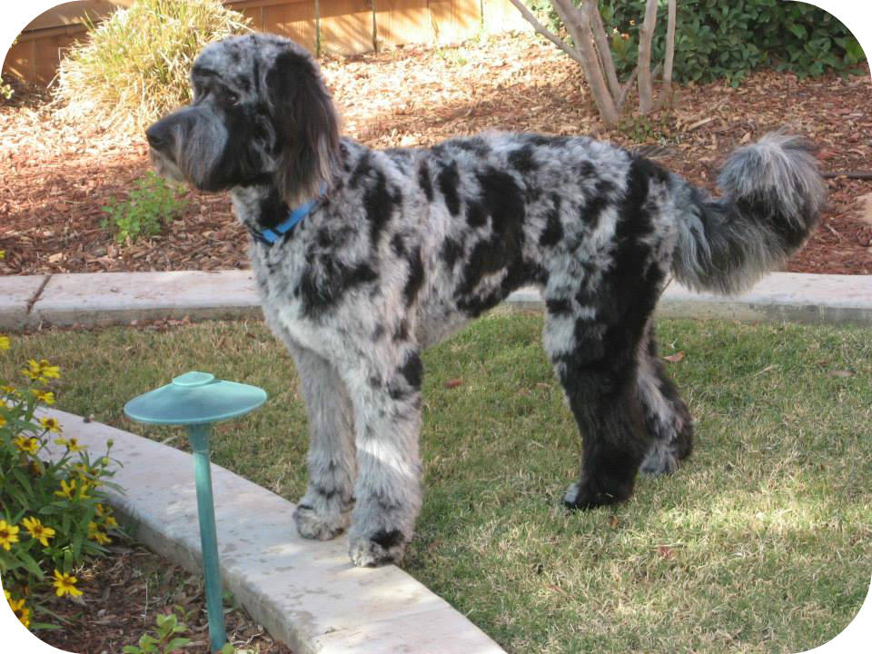 Mattie – Standard F1 Aussiedoodle – Does this look like a mutt to ...