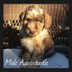 male_chocolate_aussiedoodle2