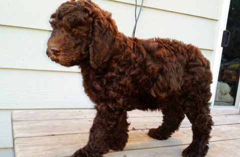 Multigen Labradoodle Female Puppy