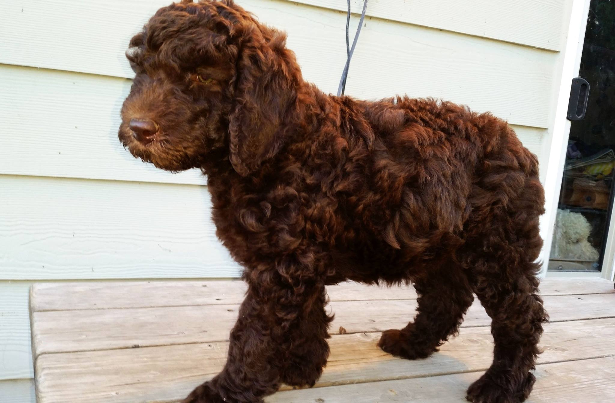 DreamyDoodles Northwest - Labradoodle and Aussiedoodle ...