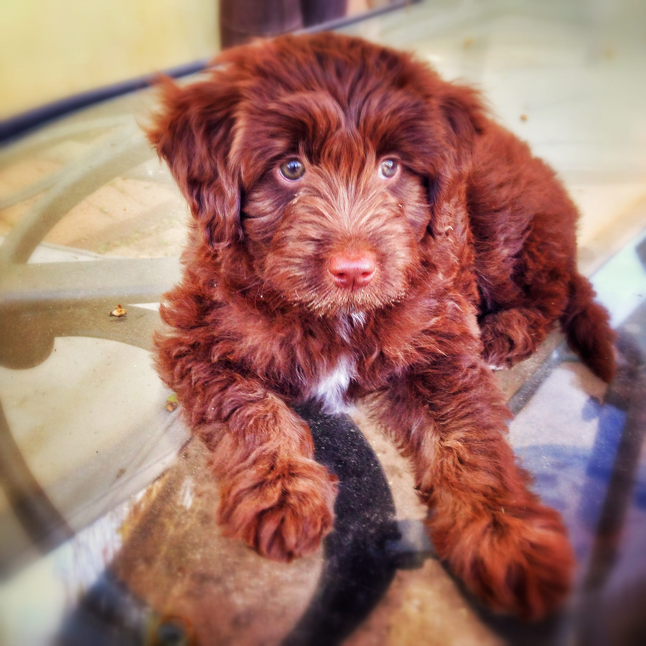 Primitive Kitchen Canisters Aussiedoodle Rescue Dogs For Adoption Aussiedoodle Rescue