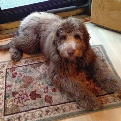 Finley the Aussiedoodle - He is also one of Rally's sons