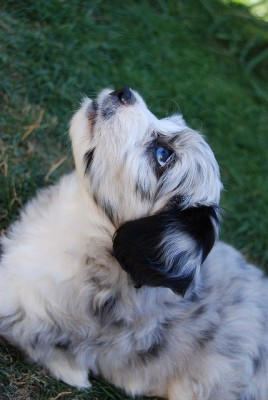 Merle Aussidoodle Puppy - Blue Eyes