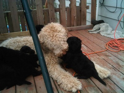 Teddy babysitting puppies..