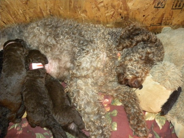 Tippy and her Litter of F1b Labradoodle puppies..