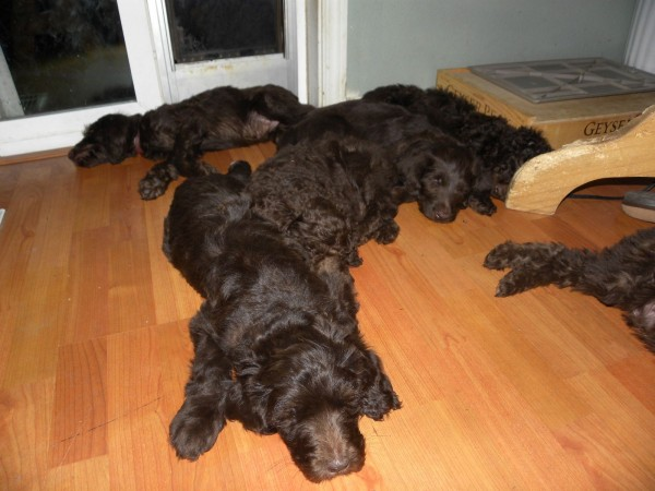 7 week old F1b Chocolate Labradoodle Puppies