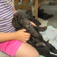 Labradoodle puppy melting into my daughters lap on her back.. I think she passes the restraint test..