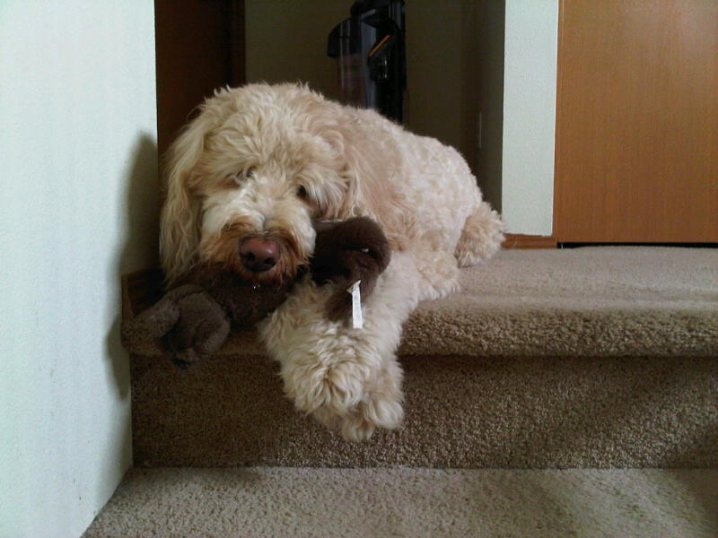 Toby needs a hair-cut.. Adult Goldendoodle