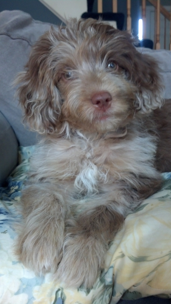 Chloe - F1 Mini Aussiedoodle from Dreamydoodles.com