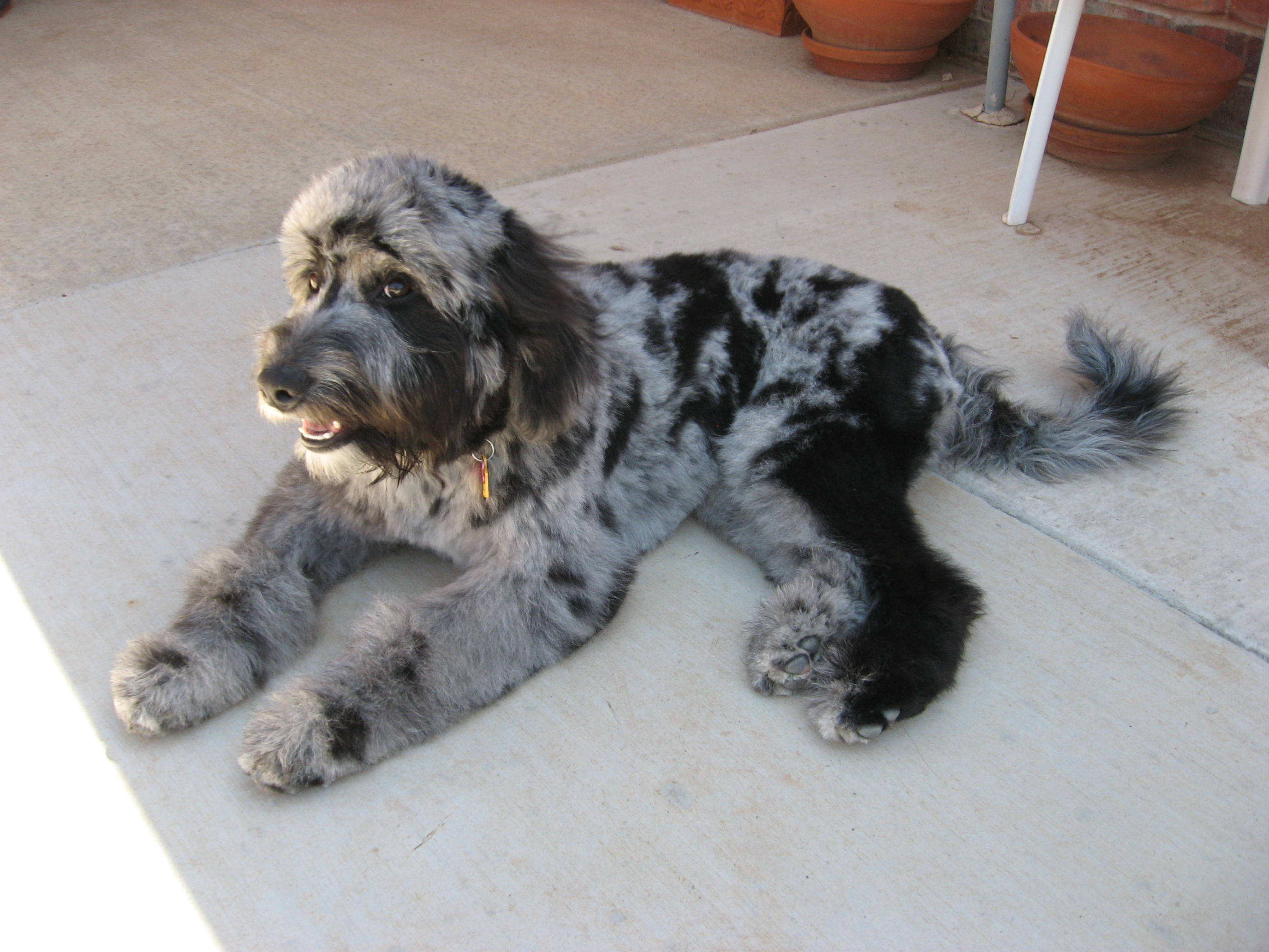 The Gallery For  &gt Aussiedoodle Puppies Blue Merle
