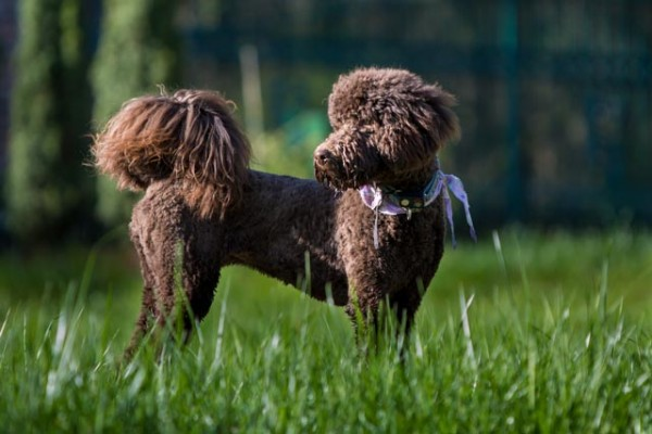 Lollipop - One of our Future Labradoodle Moms