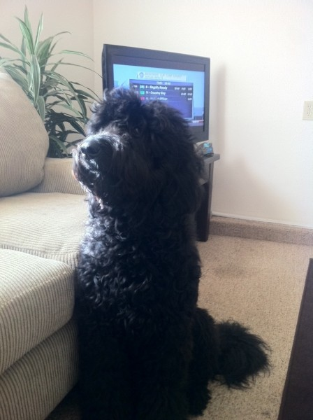 Aussiedoodle full grown testimonials aussiedoodle and