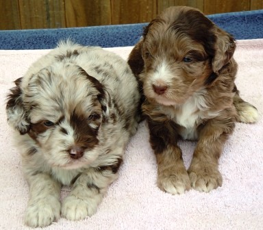 Aussidoodle Puppies from Doodlesville.com