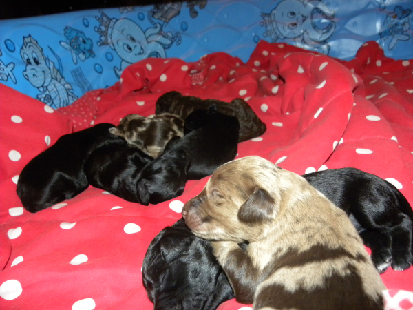aussiedoodles 10 days old