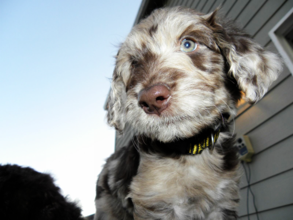 Flower - F1 Aussiedoodle Female 7 weeks