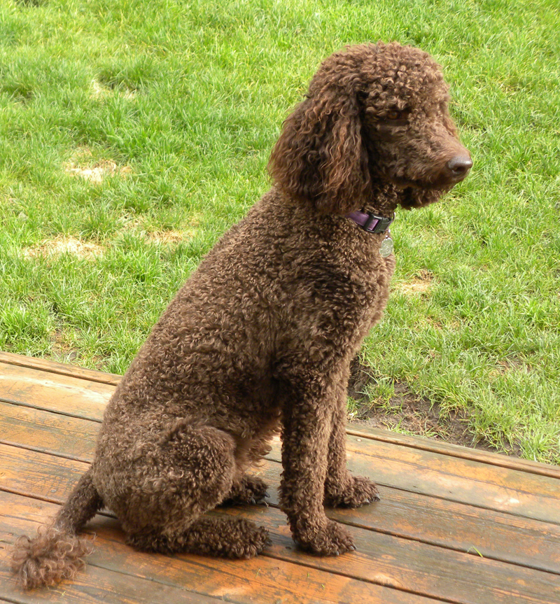 Full size poodle images