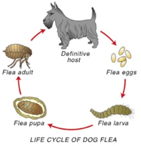 Natural Ways To Get Rid Of Fleas On Pregnant Dogs