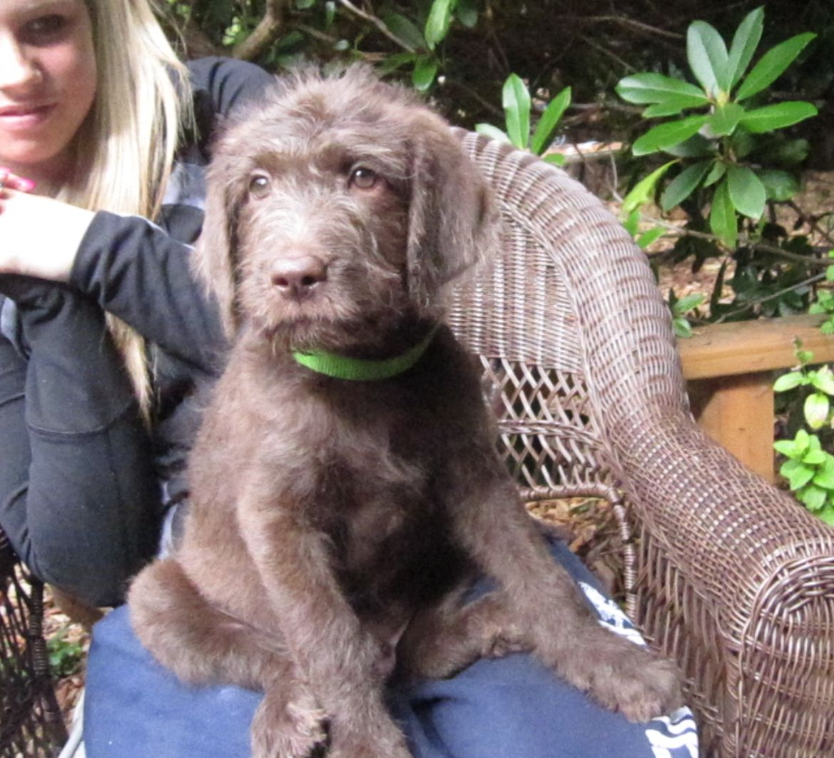 F1 Labradoodle Puppies – Summer 2013 Litter- Aussiedoodle and ...