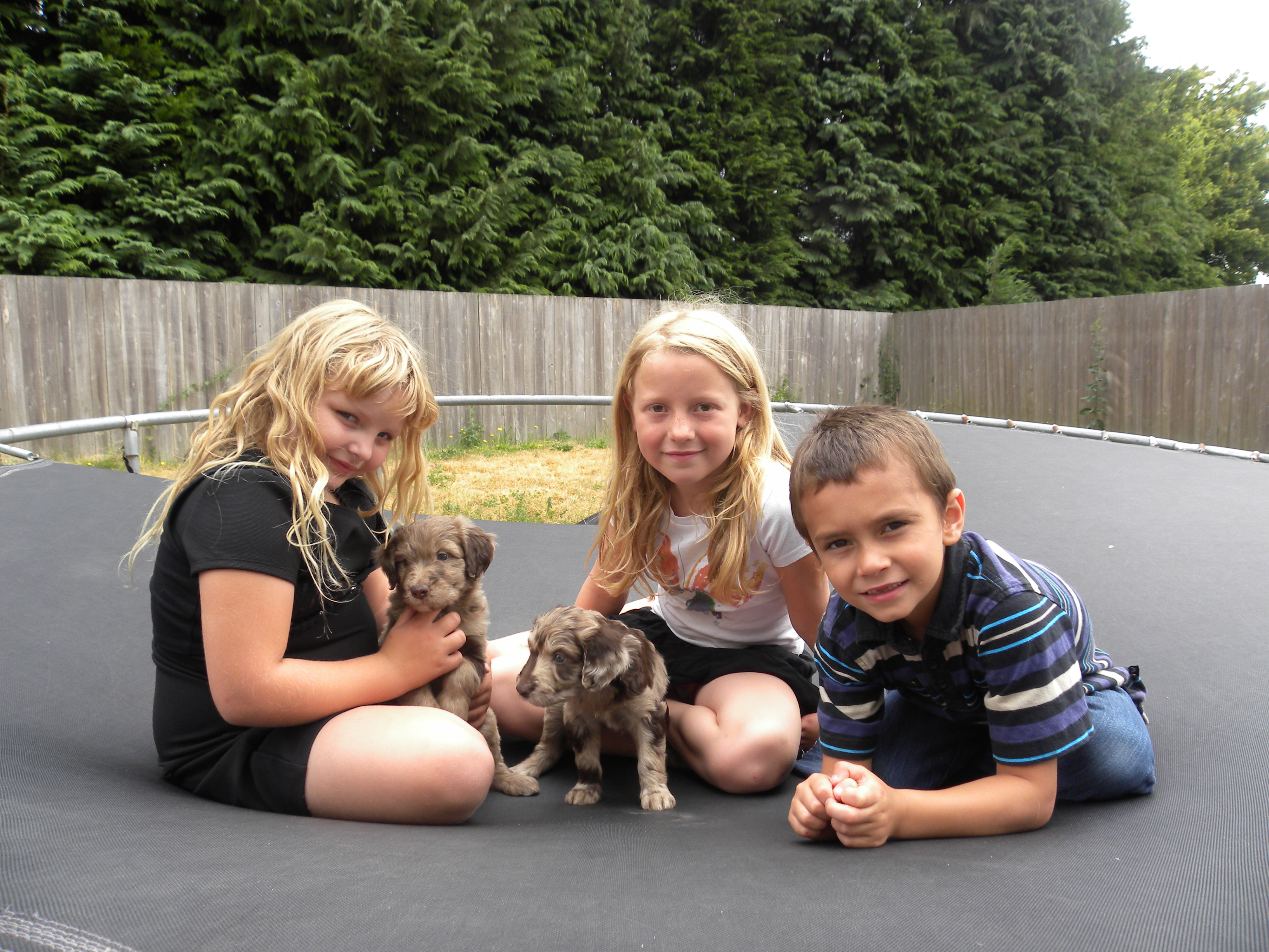 Flower and Sammy on the Trampoline with the kids - F1 Aussiedoodles 5 weeks