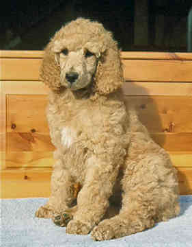 About the Poodle- Aussiedoodle and Labradoodle Puppies | Aussiedoodle ...