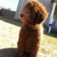 Nala - F1B Chocolate Labradoodle.. Nala will be Parchment color when she grows up