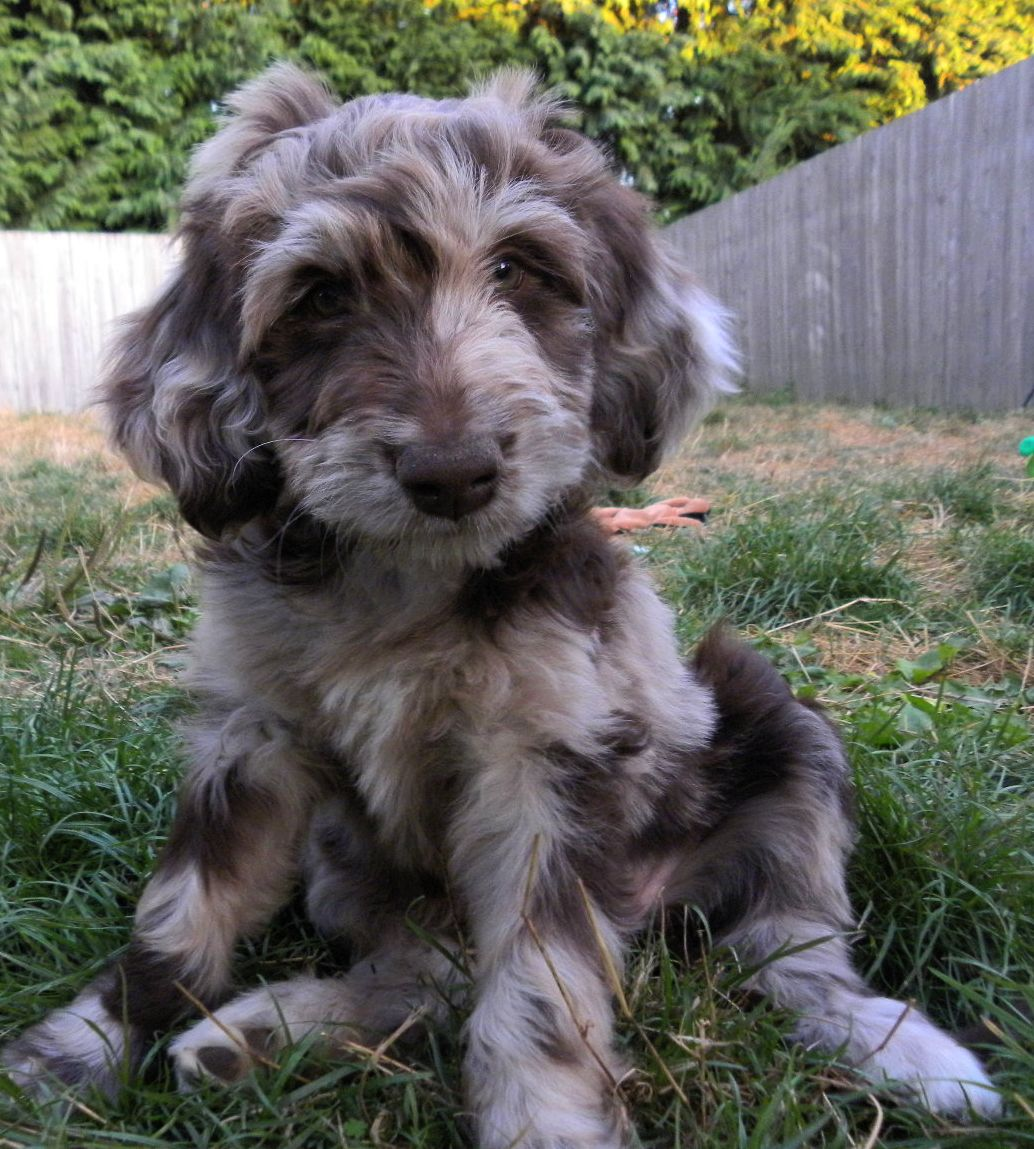 Aussiedoodle Puppies For Sale In Nc