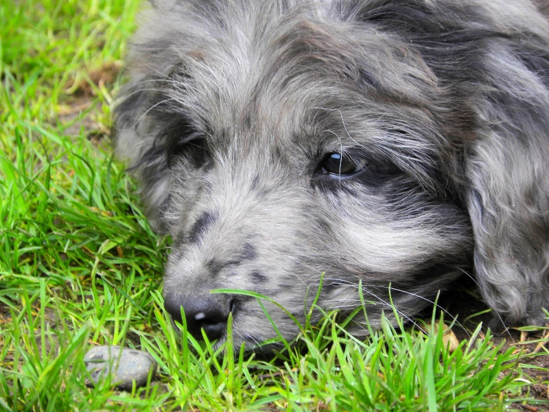 9 week old Blue Merle Aussiedoodle
