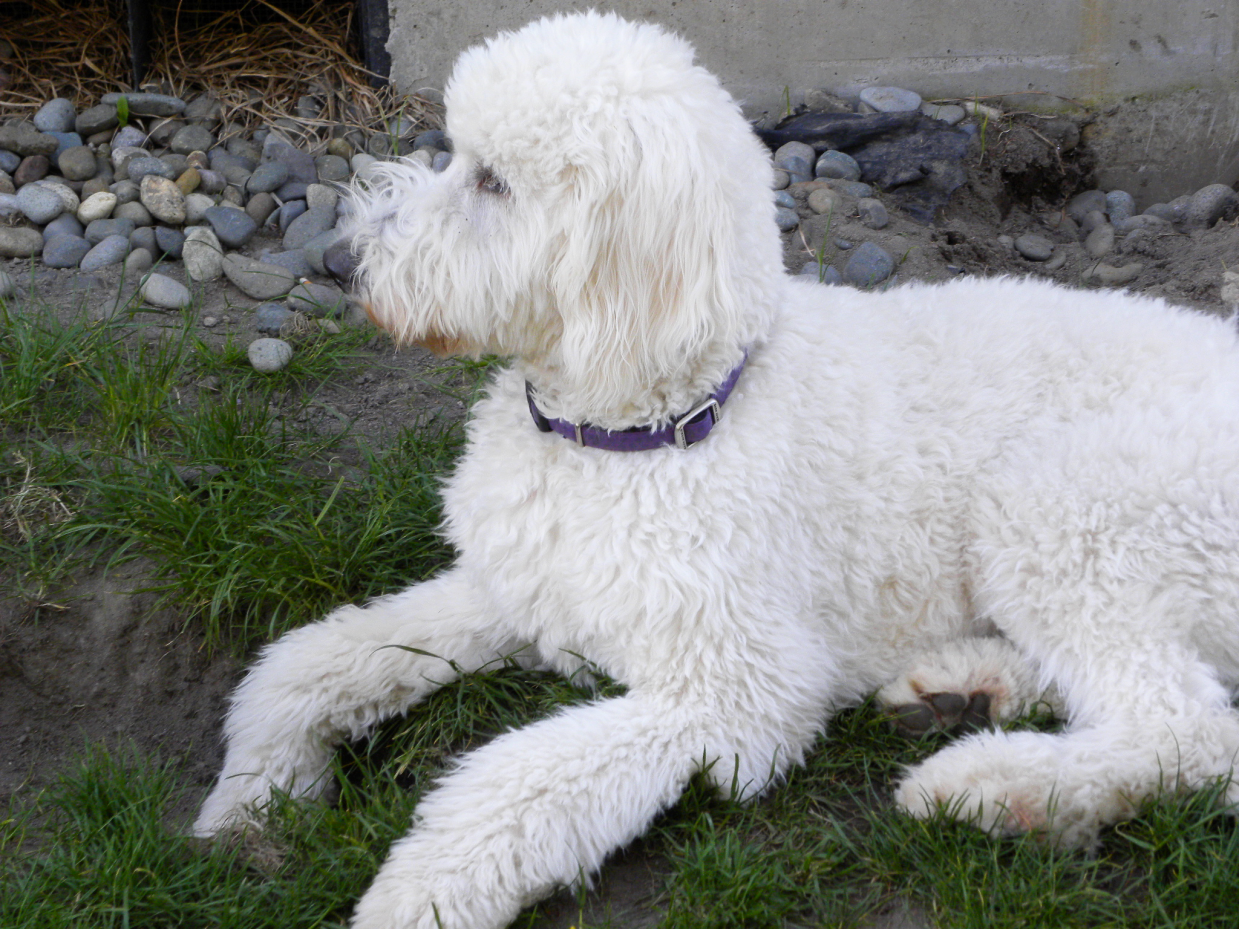 Baby - White F1 Goldendoodle