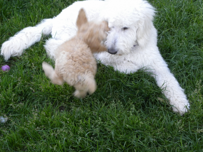 poodle_attack
