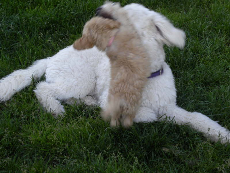 poodle_attack2