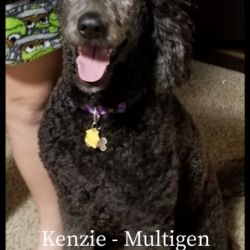 Mom Kenzie - Blue Colored Labradoodle