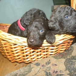 labradoodles-winter-13-156